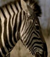 Zebra, Plains (Elephant Tales)