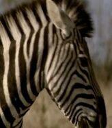 Zebra, Plains (Elephant Tales)