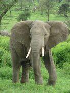 300px-Elephant near ndutu