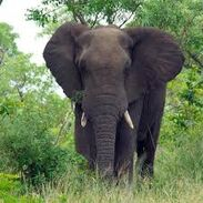 African and Asian Elephant