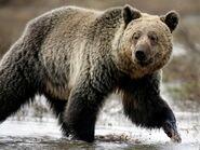 Bear, Grizzly (V2)