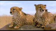 Elephant Tales Cheetahs