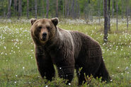 Eurasian brown bear