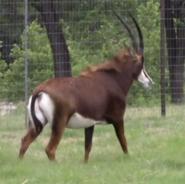 Natural Bridge Wildlife Ranch Sable Antelope