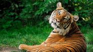 Siberian-tiger-profile.ngsversion.1478731451784