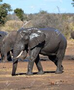 10435688-a-wet-elephant