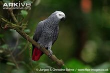 African-grey-parrot-perched