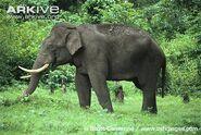 Asian Elephant 2