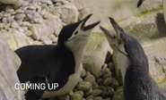 Bronyx Zoo TV Series Chinstrap Penguins