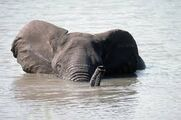 Elephant Swimming In the Nile River