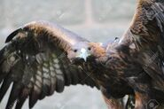 Golden eagle with open wings