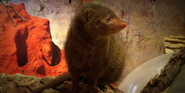 Great Plains Zoo Mongoose