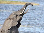 Joyful-elephant-swimming