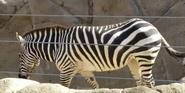 San Diego Zoo Plains Zebra