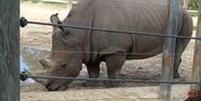 Tampa Lowry Park Zoo Rhino
