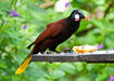 1200px-Psarocolius montezuma -near Rancho Naturalista, Cordillera de Talamanca, Costa Rica-8