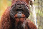 Borean-orangutan