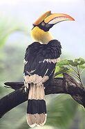 Hornbill, Great Indian (V2)