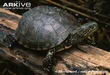European-pond-turtle-on-log