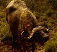 TLK 2019 Cape Buffalo