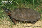 Wood-turtle-on-sand-side-view