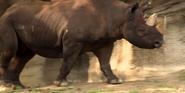 Cincinnati Zoo Eastern Black Rhino