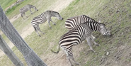 Columbus Zoo Zebras