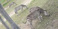 Columbus Zoo Zebras