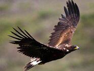 Golden Eagle (V2)