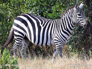 Grants-zebra,-plains-zebra-77x zeb1