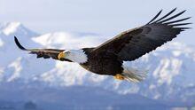 Hd-images-of-hd-bald-eagle-dowload