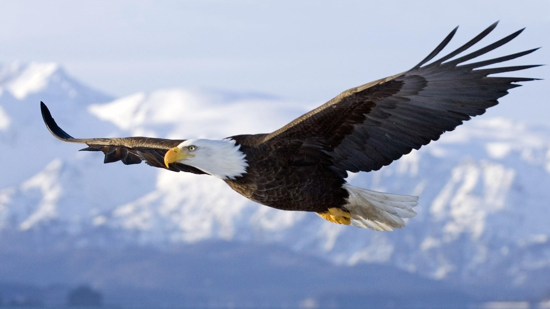 bald eagle the parody wiki fandom powered by wikia