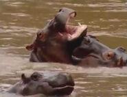 HugoSafari - Hippopotamus05