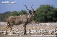 Male-greater-kudu-in-habitat