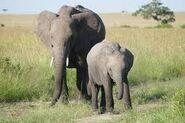 Masai Elephants