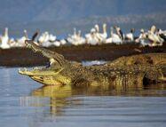 NileCrocodile--Etiopia-Omo-River-Valley-01