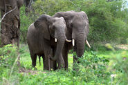 African-Forest-Elephant-6