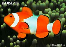 Common-clownfish-side-view