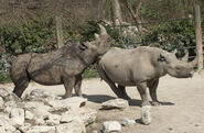 Male and female black rhinos