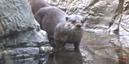 Cleveland Metroparks Zoo Otter