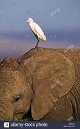 Egret On Elephant's Ear