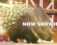 FWZ Crested Porcupine