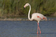 Flamingo, Greater