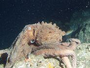 GiantPacificOctopus