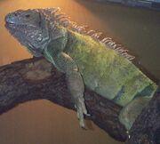 Iguana, Green