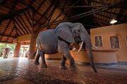 Mango Eating Elephants