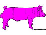 York-Boar