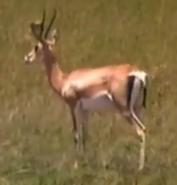 Zoboomafoo Grant's Gazelle