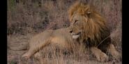 CITIRWN Lions