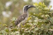 Hornbill, African grey